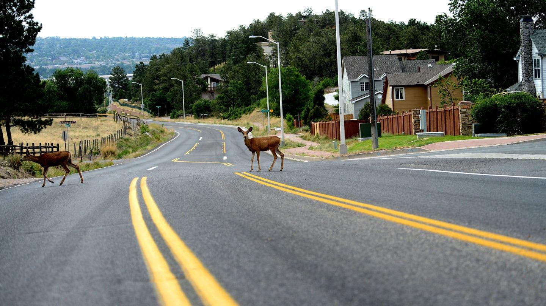 Deer In Road Mount Saint Francis Colorado Springs