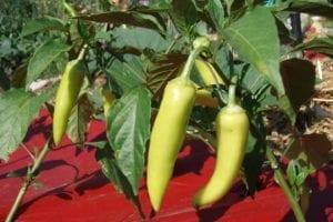 Gardening Denver Colorado Garden Peppers