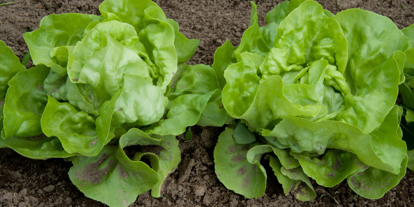 Gardening Lettuce Mini Heads