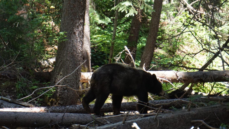 Beaver Lake Trail Black Bear Avon Colorado