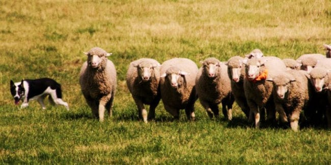 Meeker Classic Sheepdog Championships Trials