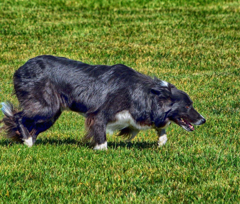 Meeker Classic Sheepdog Championships