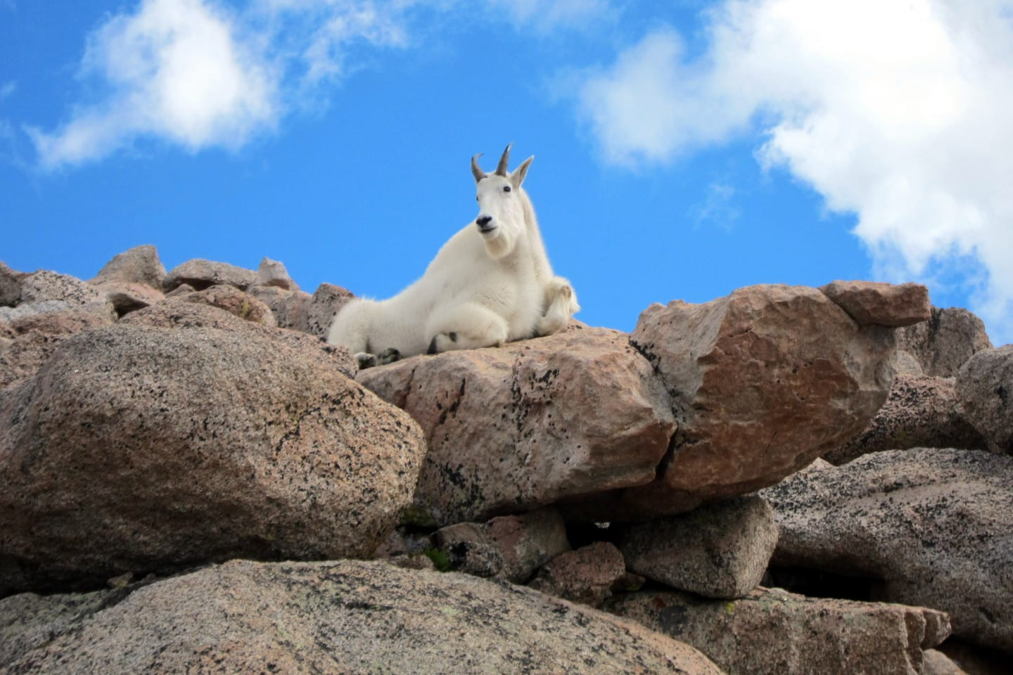 Mount Evans Wilderness Mountain Goat