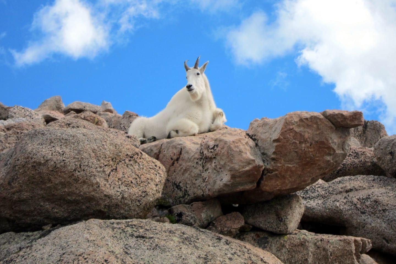 Mount Evans Wilderness Mountain Goat