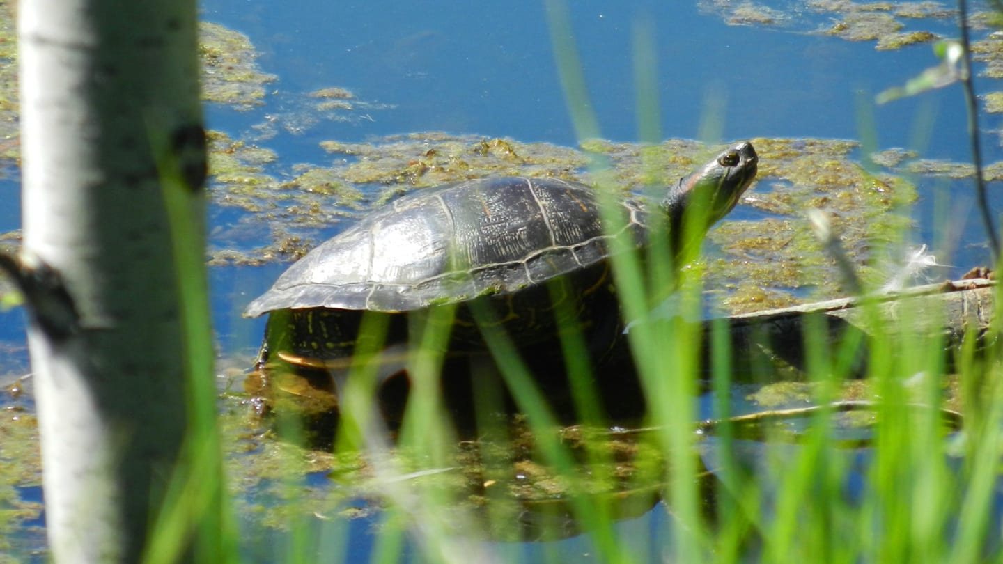 Two Ponds Trail Arvada Turtle