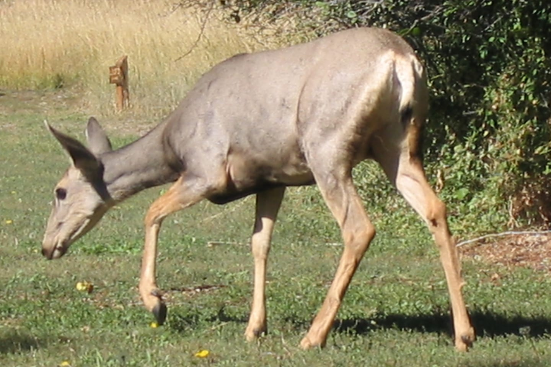 Two Ponds Trail Arvada Deer