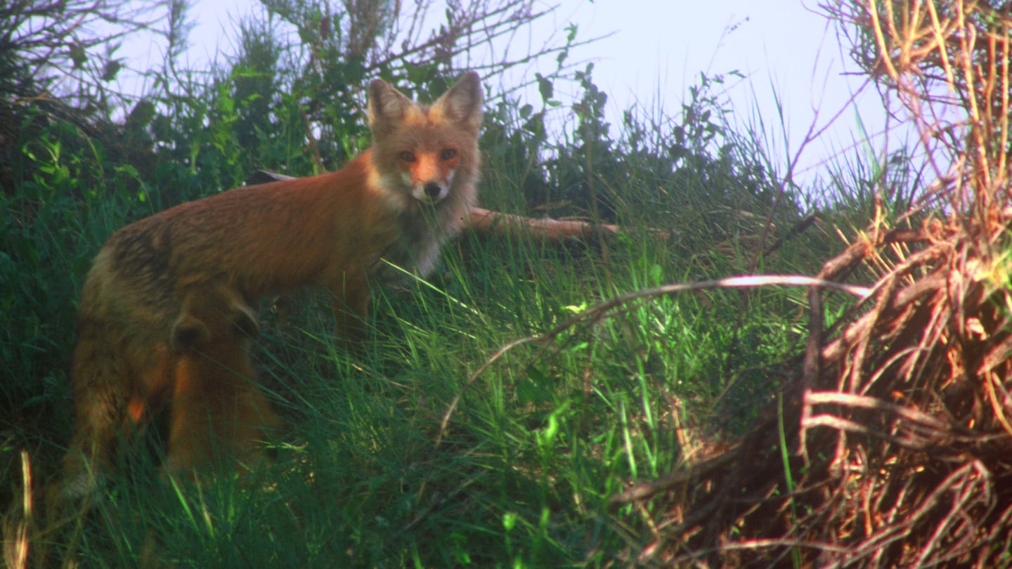Two Ponds Trail Arvada Red Fox