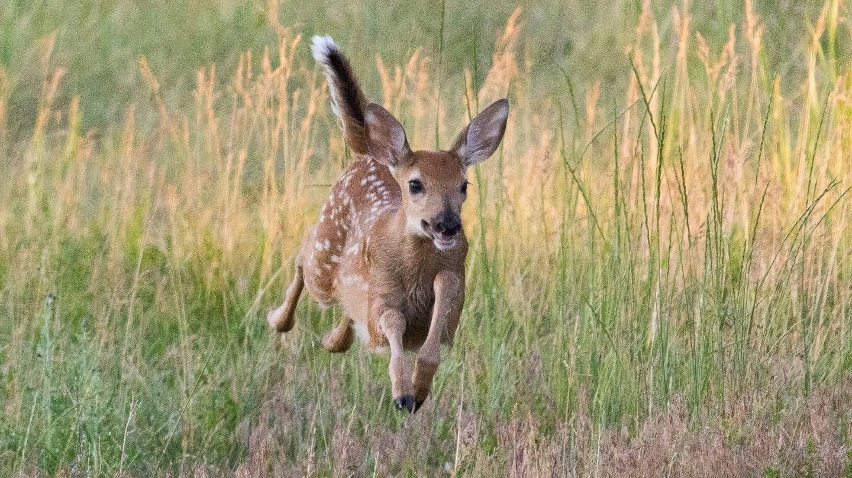 Wildlife Deer Rocky Mountain Arsenal Refuge Colorado