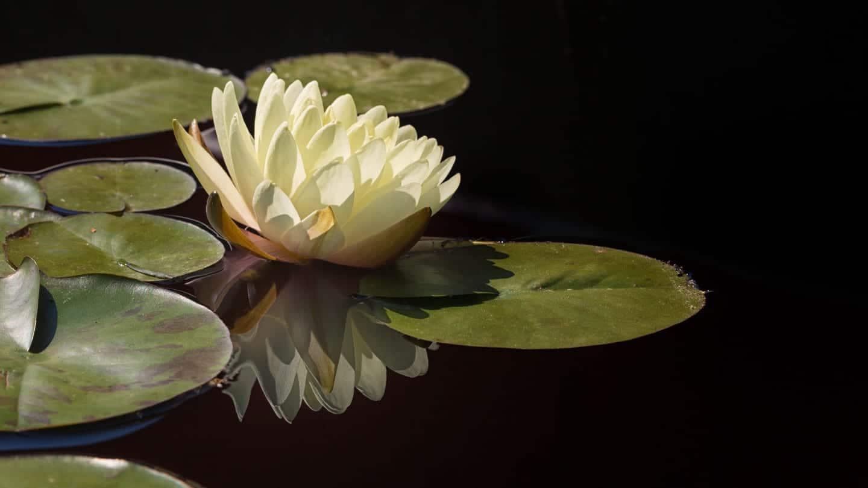 Denver Botanic Gardens Lily Pad Flower