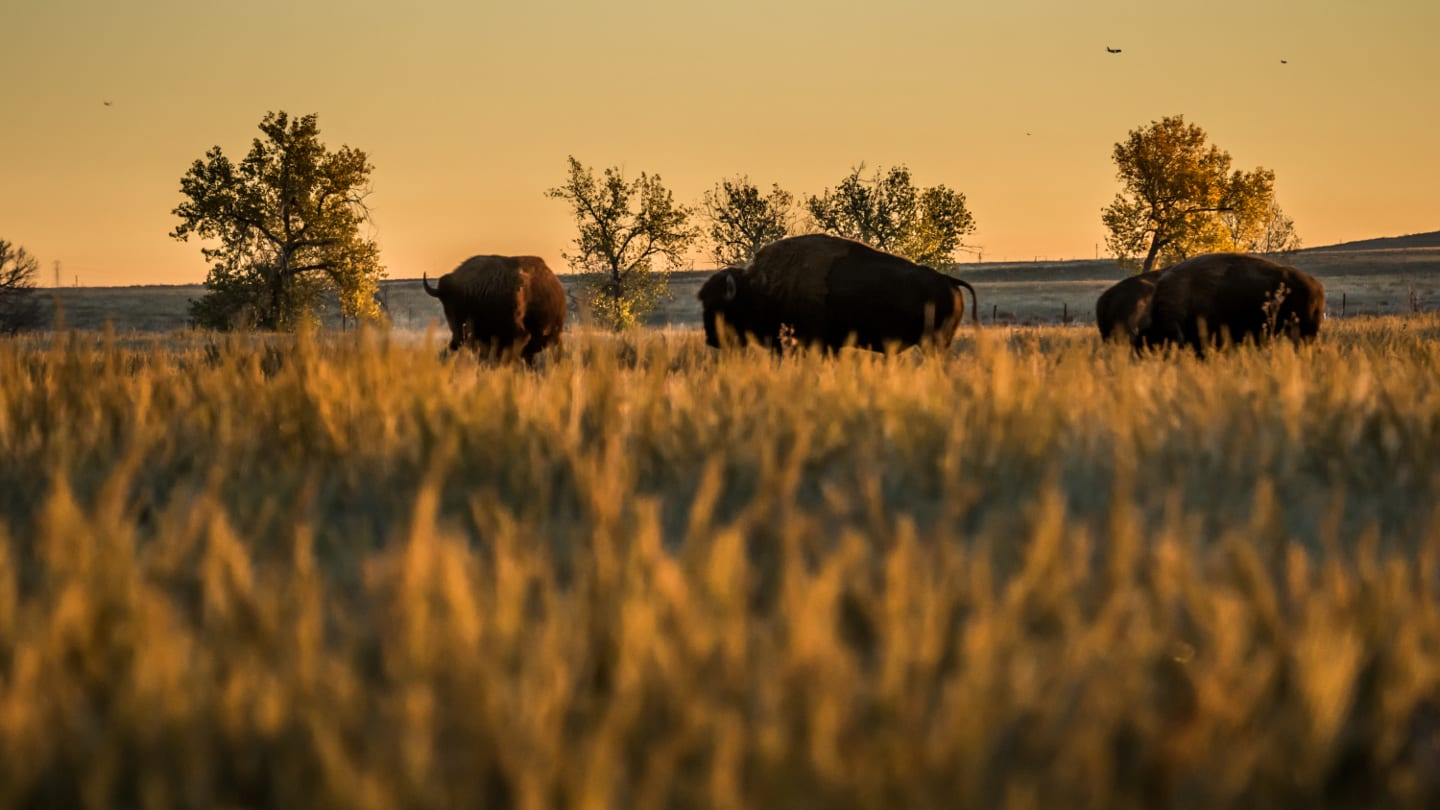 Bison Sunrise Rocky Mountain Arsenal Wildlife Refuge Denver