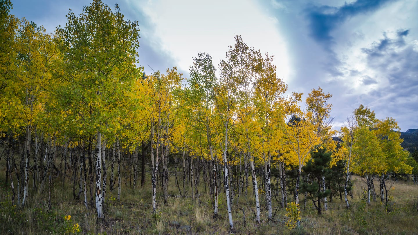 Pike National Forest Autumn Aspen Grove
