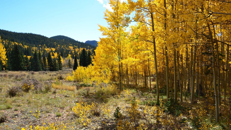 Colorado Aspen Trees Fall Colors