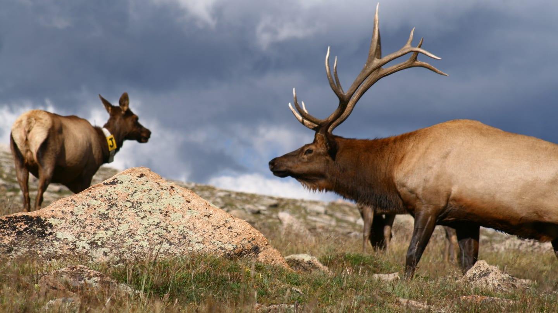 Elk Grazing Trail Ridge Road Colorado