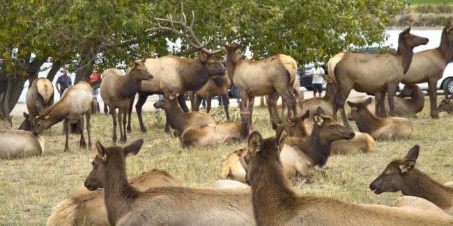 Colorado Elk Herd Estes Park