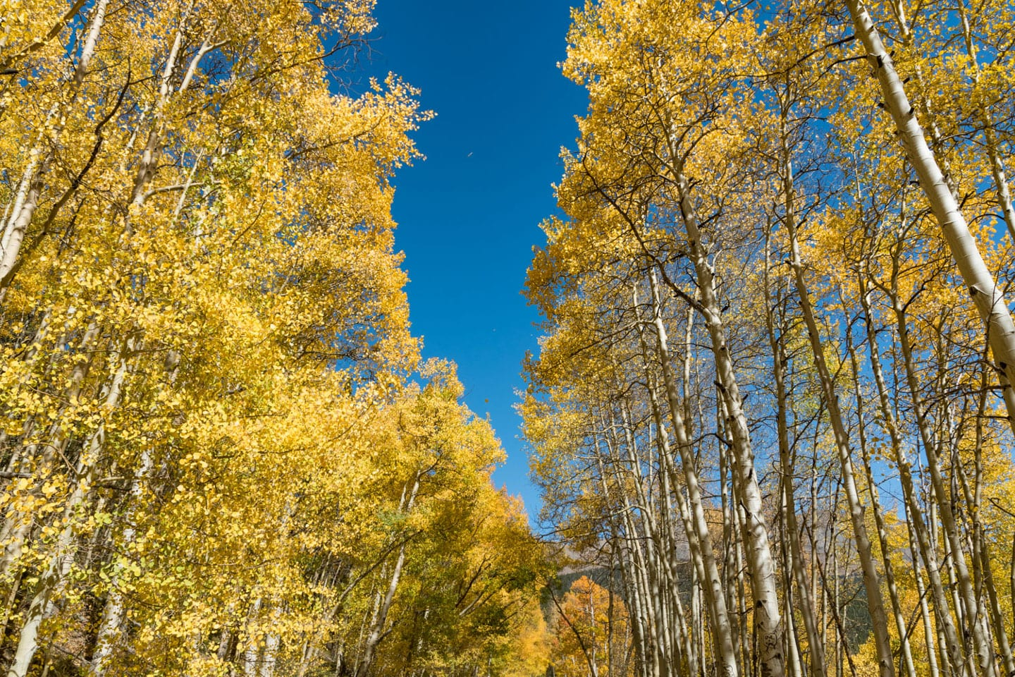 Fall Colors Boreas Pass Golden Aspen Grove