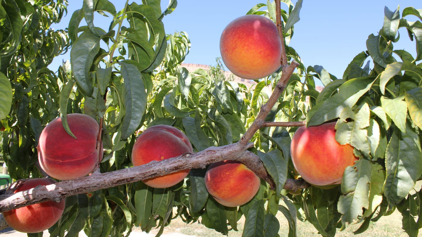 Palisade Peaches Colorado Vines