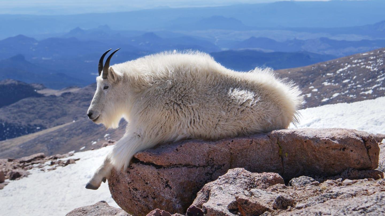 Mount Evans Mountain Goat Resting