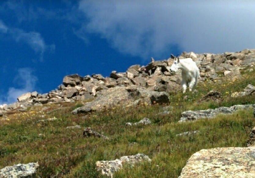 Visit Colorado Summer Mountain Goat