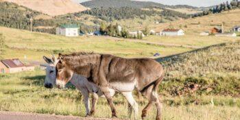 Cripple Creek Casinos Wild Donkeys