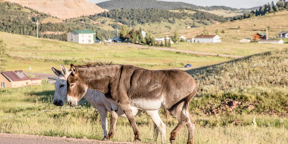 Cripple Creek Casinos Wild Donkeys