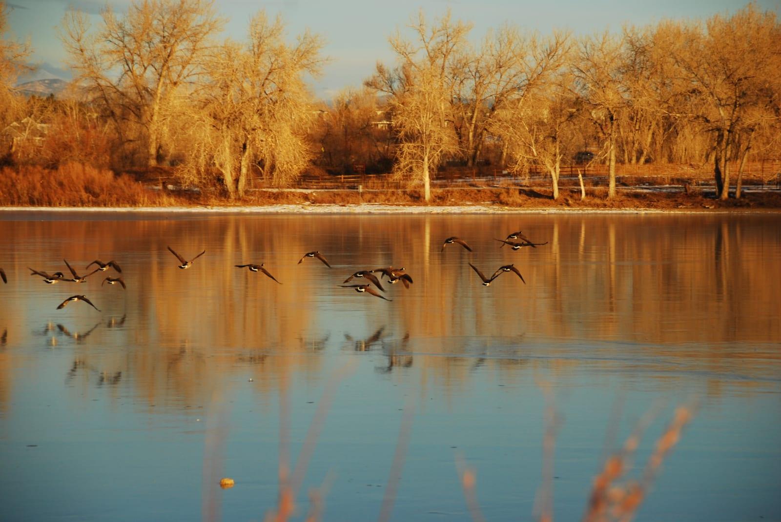 Waneka Lake Geese Lafayette Colorado