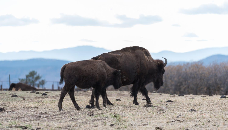 Sedalia CO Daniel's Park Bison
