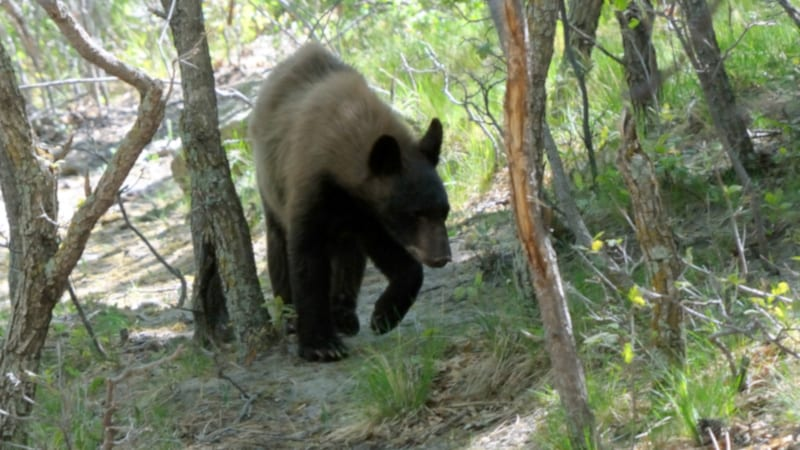 Prevent Survive Black Bear Attacks Colorado Springs USA Bear Cub