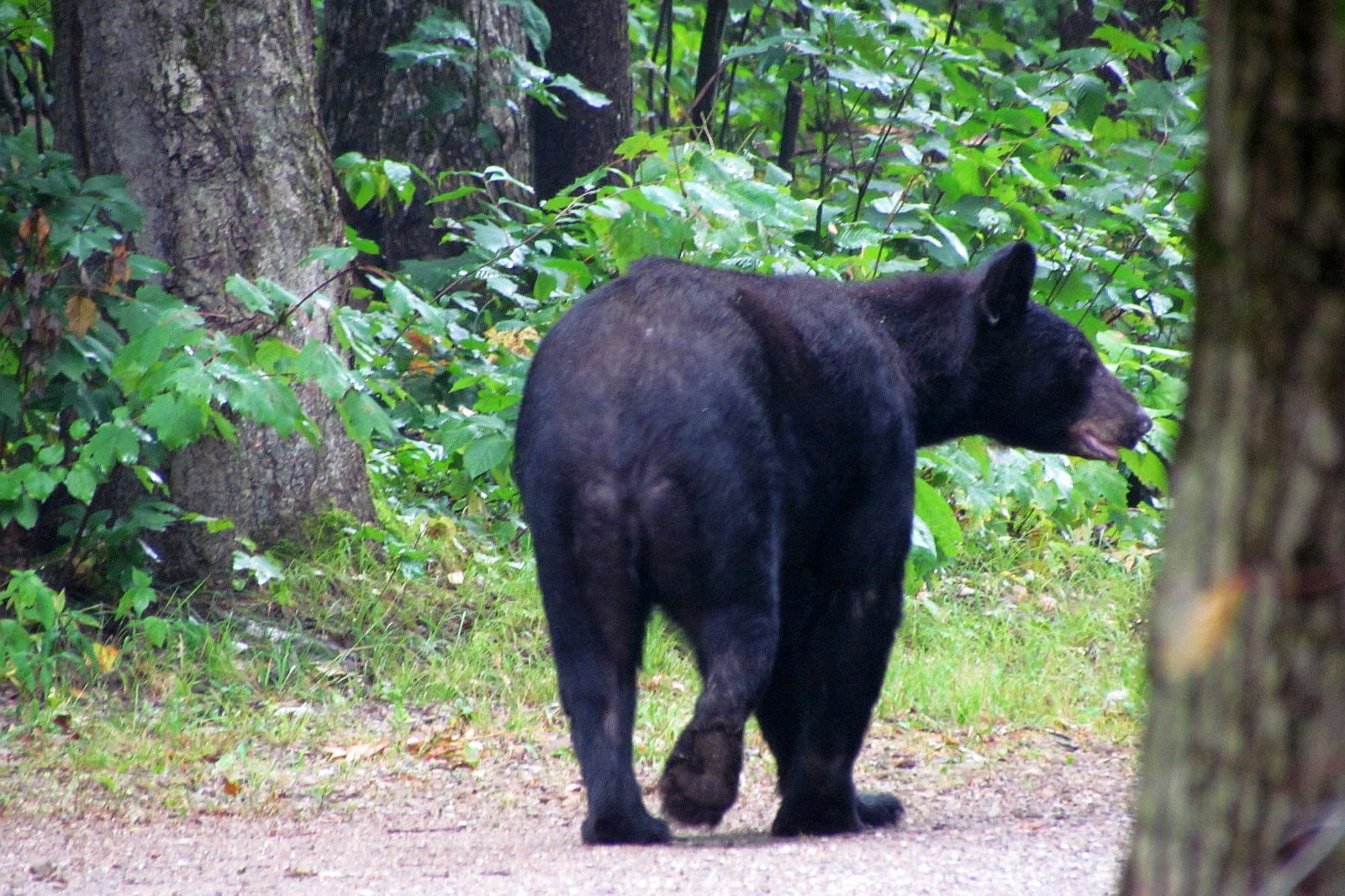 Survive Prevent Black Bear Attacks USA Russel PA