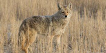 Survive Wildlife Attacks USA Colorado Coyote