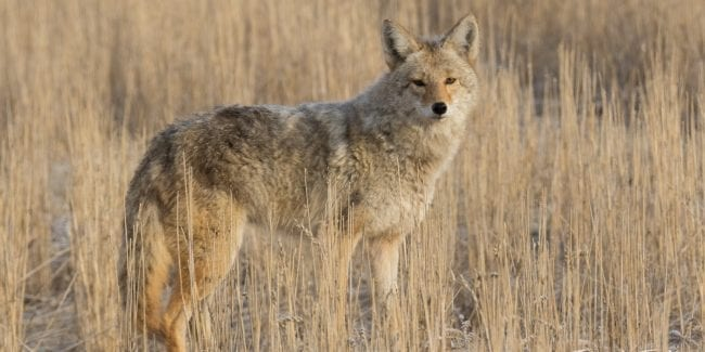 Survive Wildlife Attacks USA Colorado Coyote