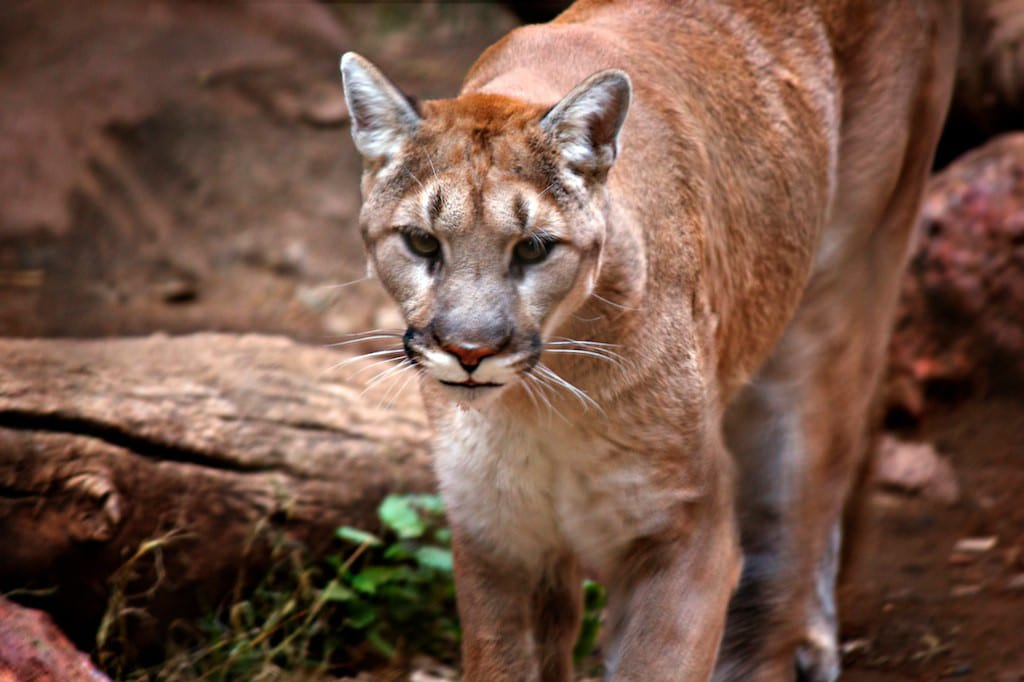 Prevent Survive Mountain Lion Attacks Arizona USA