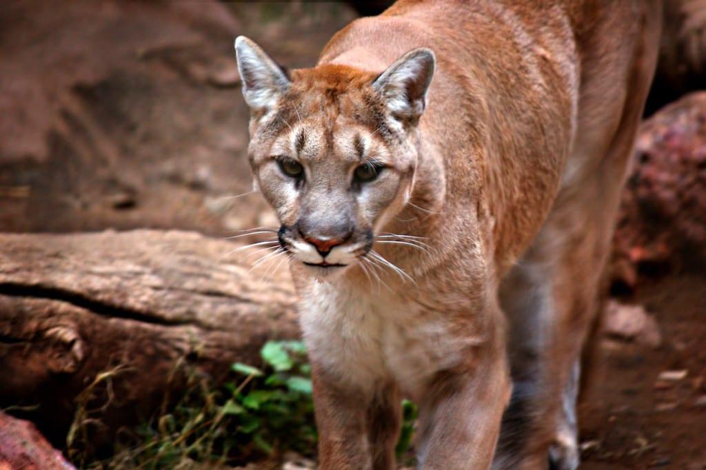 Prevent Survive Mountain Lion Attacks Arizona USA