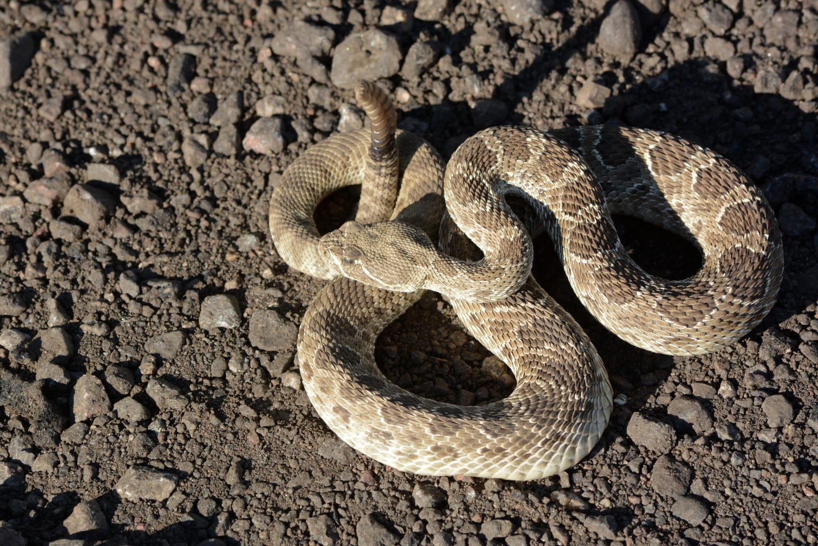 Survive Wildlife Attacks Rattlesnake