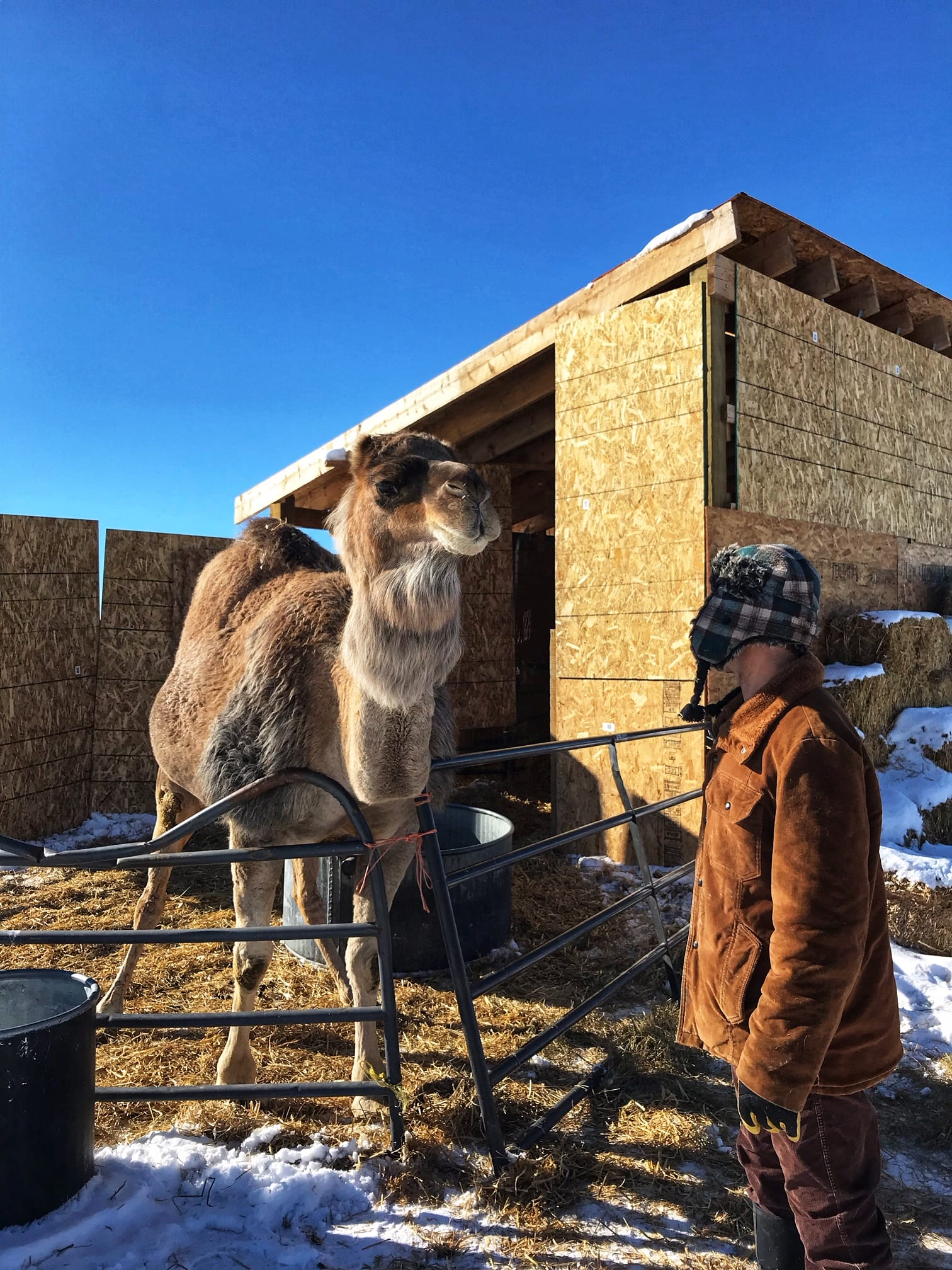image of camel farm tour