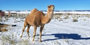 image of camel on camel farm
