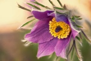 Denver Botanic Gardens Pasque Flower