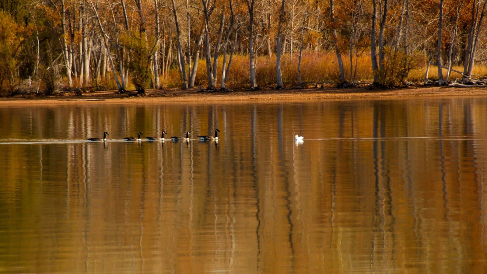 Fishing Around Denver Chatfield Reservoir Ducks