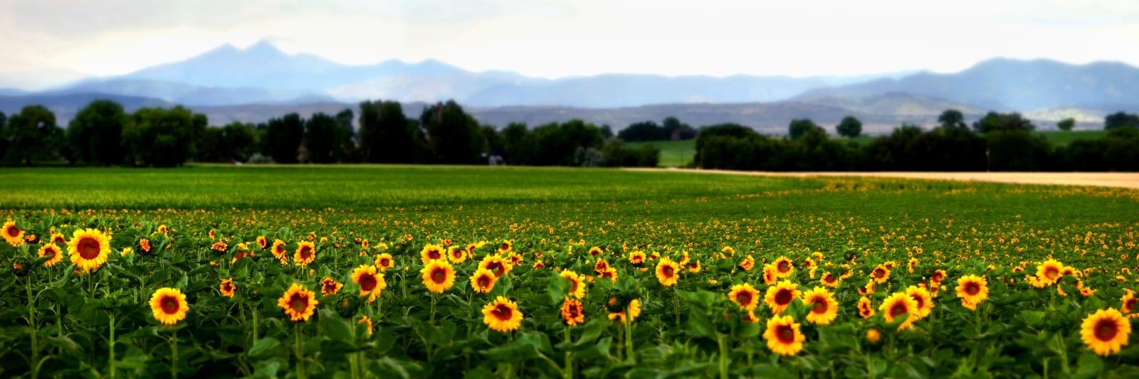 Berthoud Colorado Sunflowers