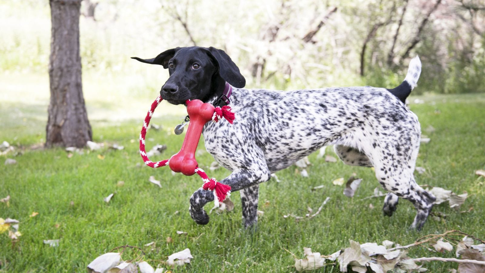 KONG Company Goodie Bone with Rope Dog Toy