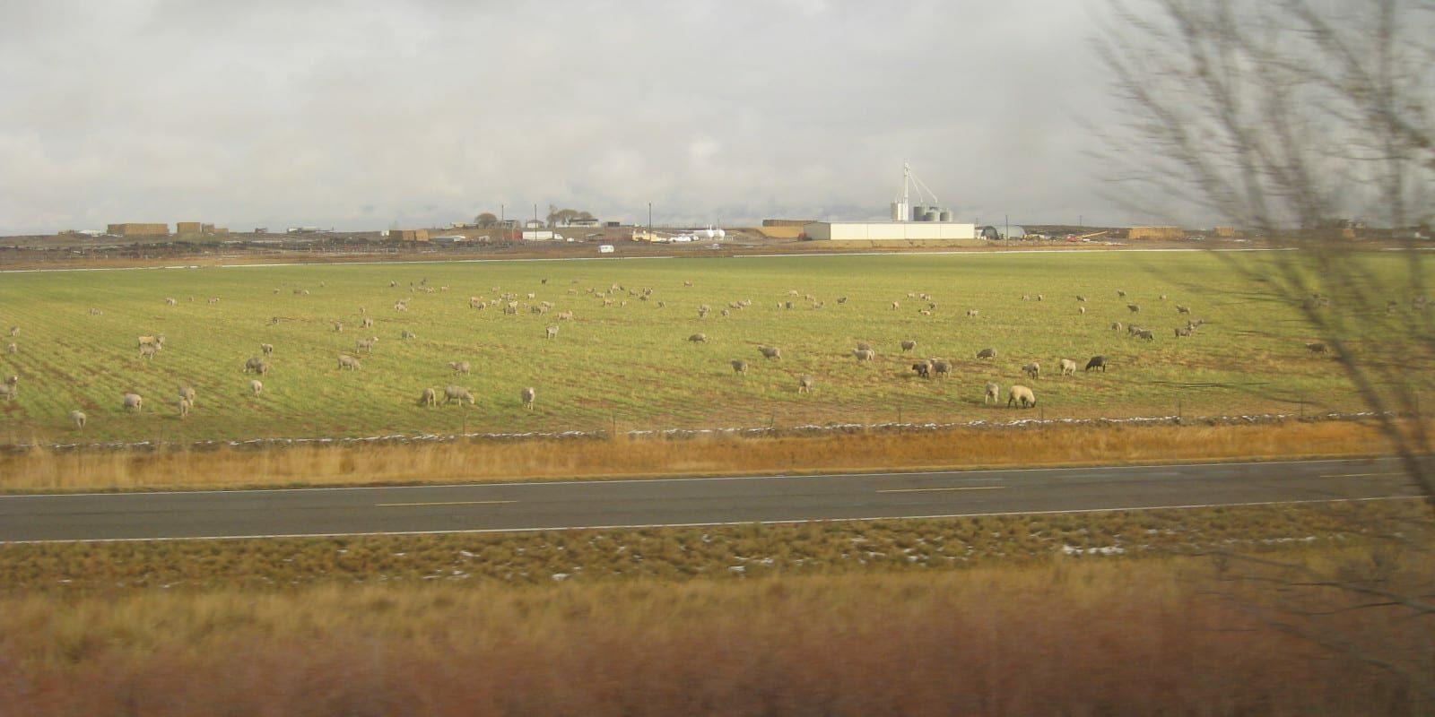 Loma Colorado Sheep Grazing