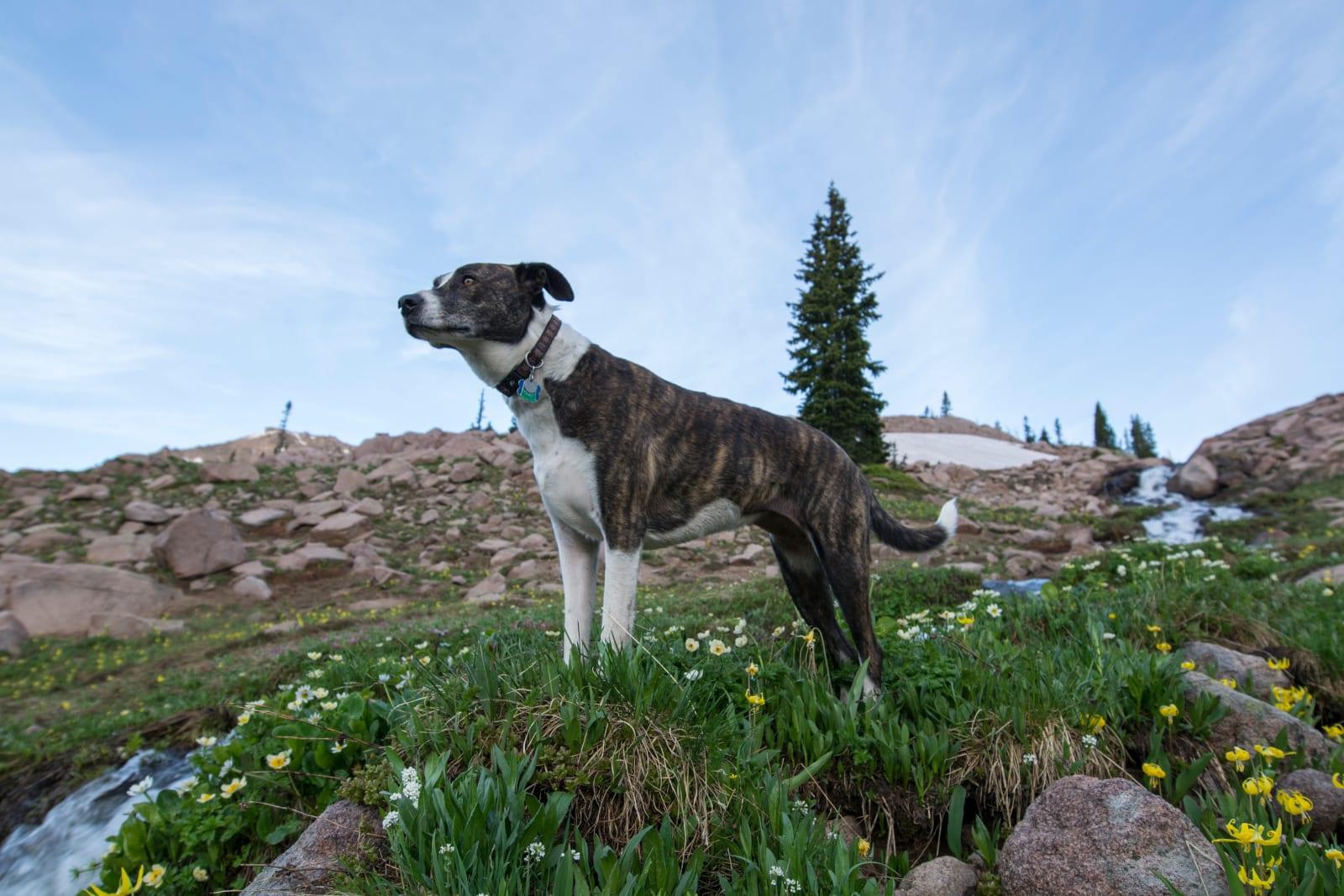 Mount Zirkel Wilderness Backpacking Dog Stream