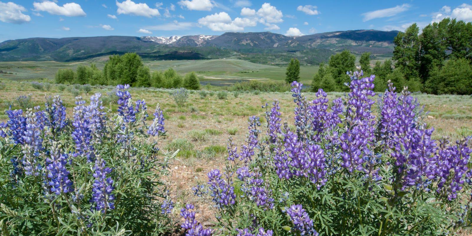 Mount Zirkel Wilderness Colorado Backpacking Wildflowers
