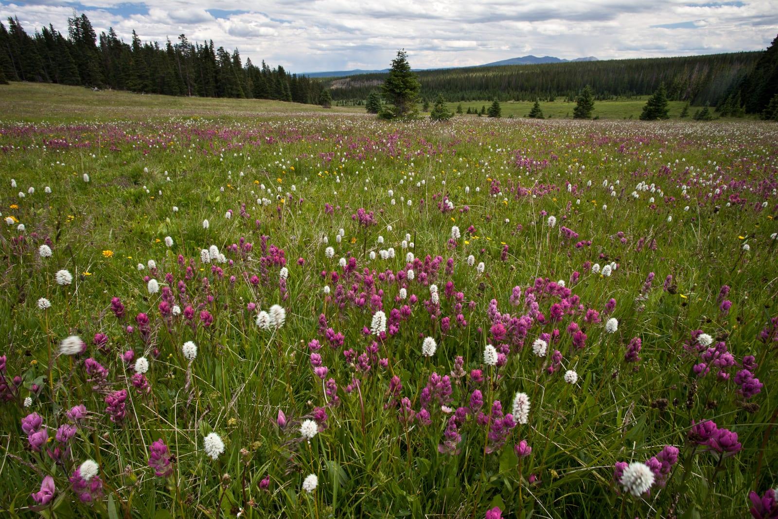 Powderhorn Wilderness Colorado Wildflowers