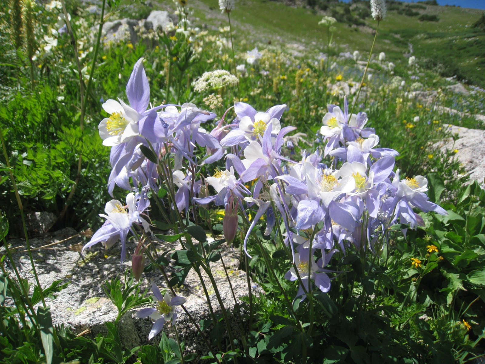 Rawah Wilderness Columbines Flowers