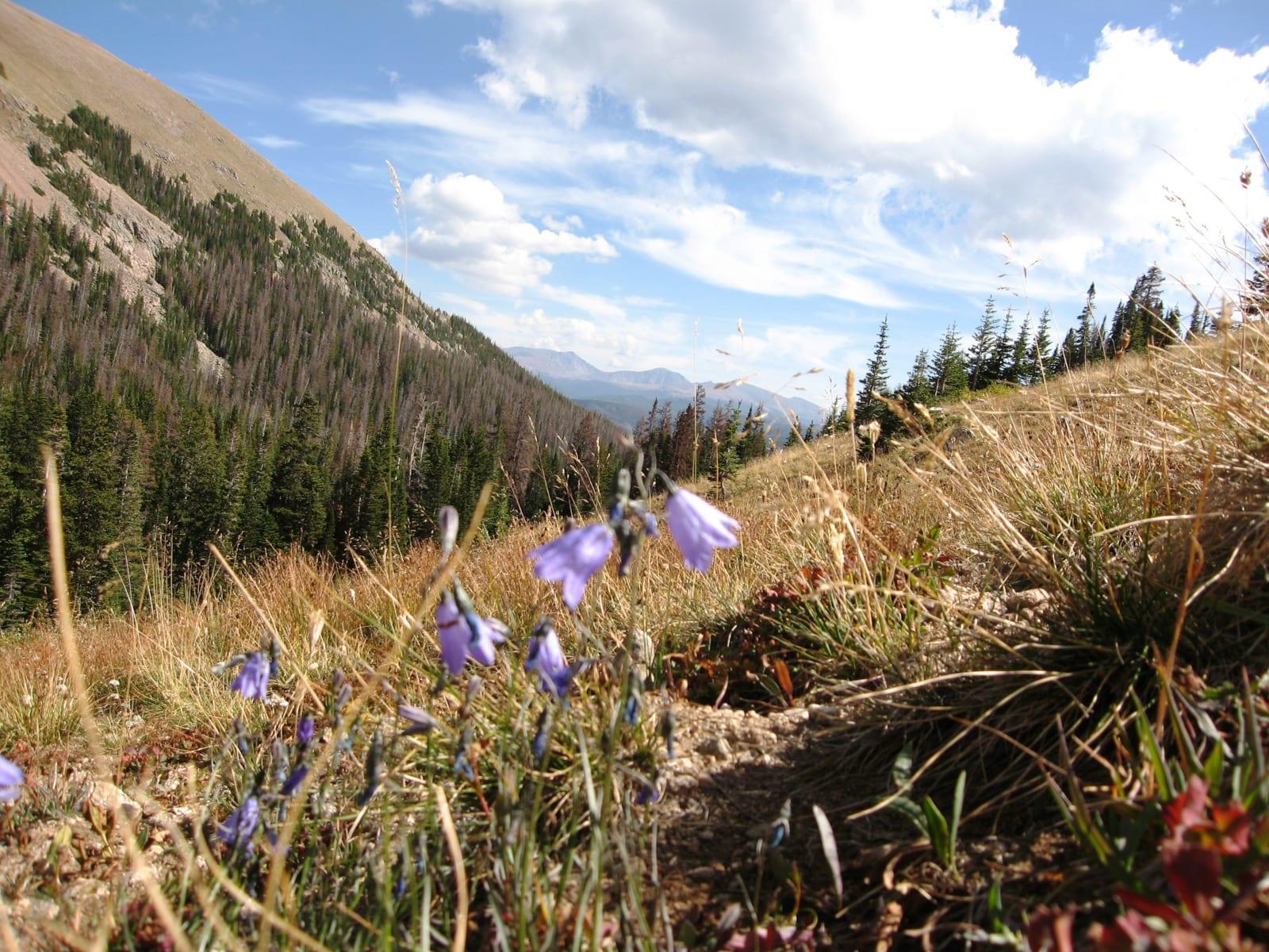 Rawah Wilderness Wildflowers