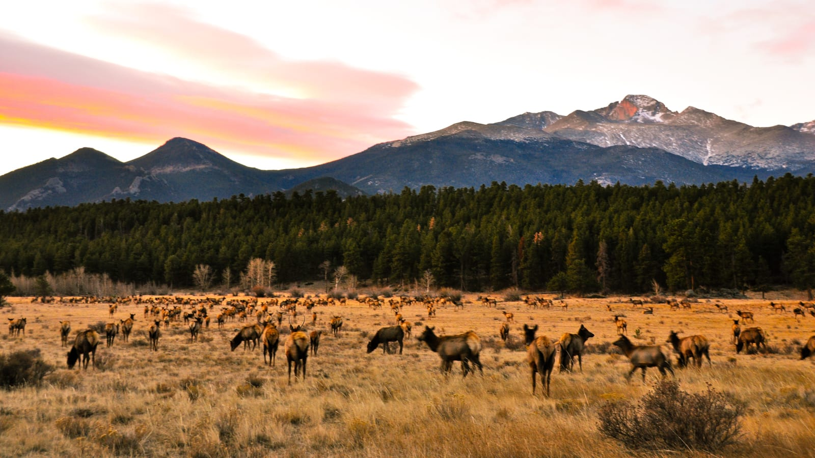 Mountain Living Colorado Elk Crazing Beaver Point