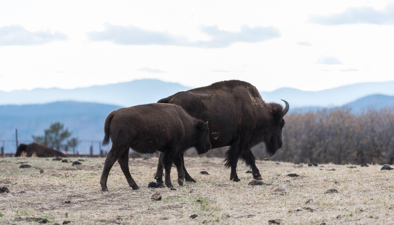 image of bison at Daniels Park