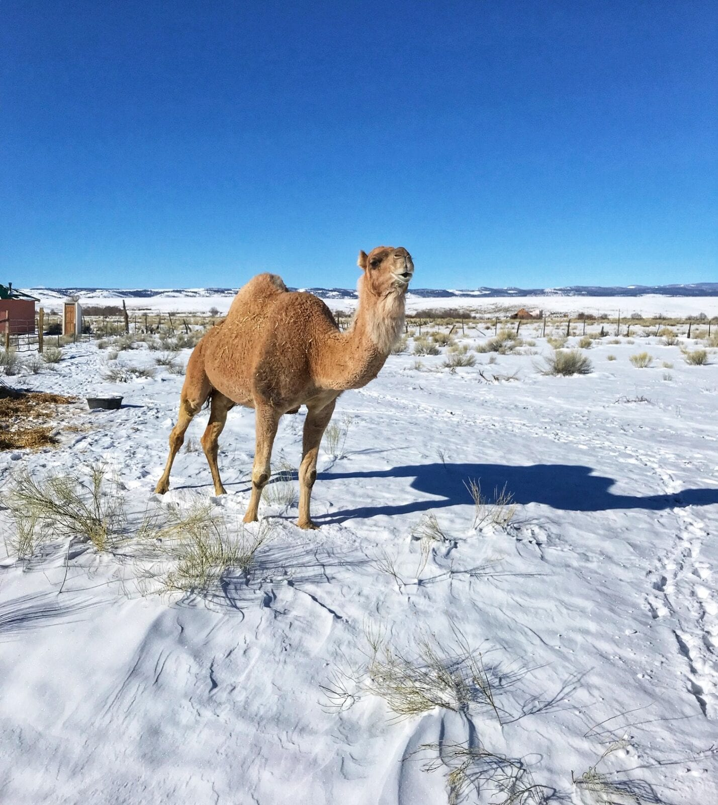image of camel on a farm