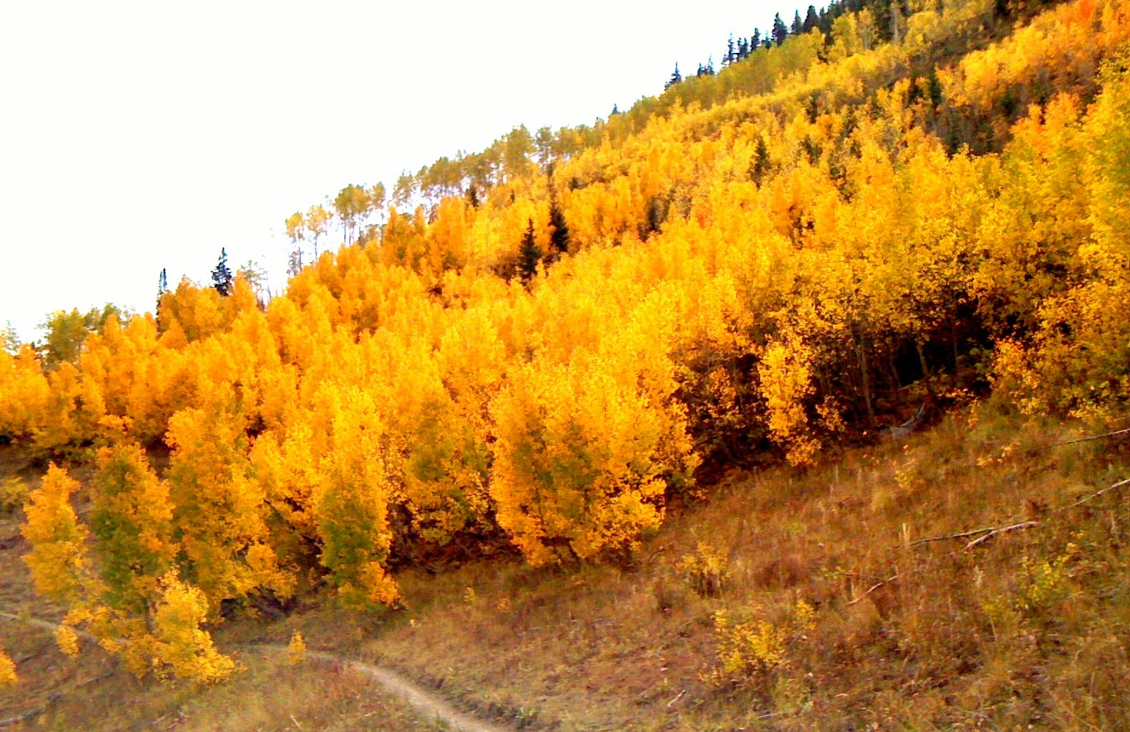 Fall Aspen Leaves in Crested Butte, Colorado