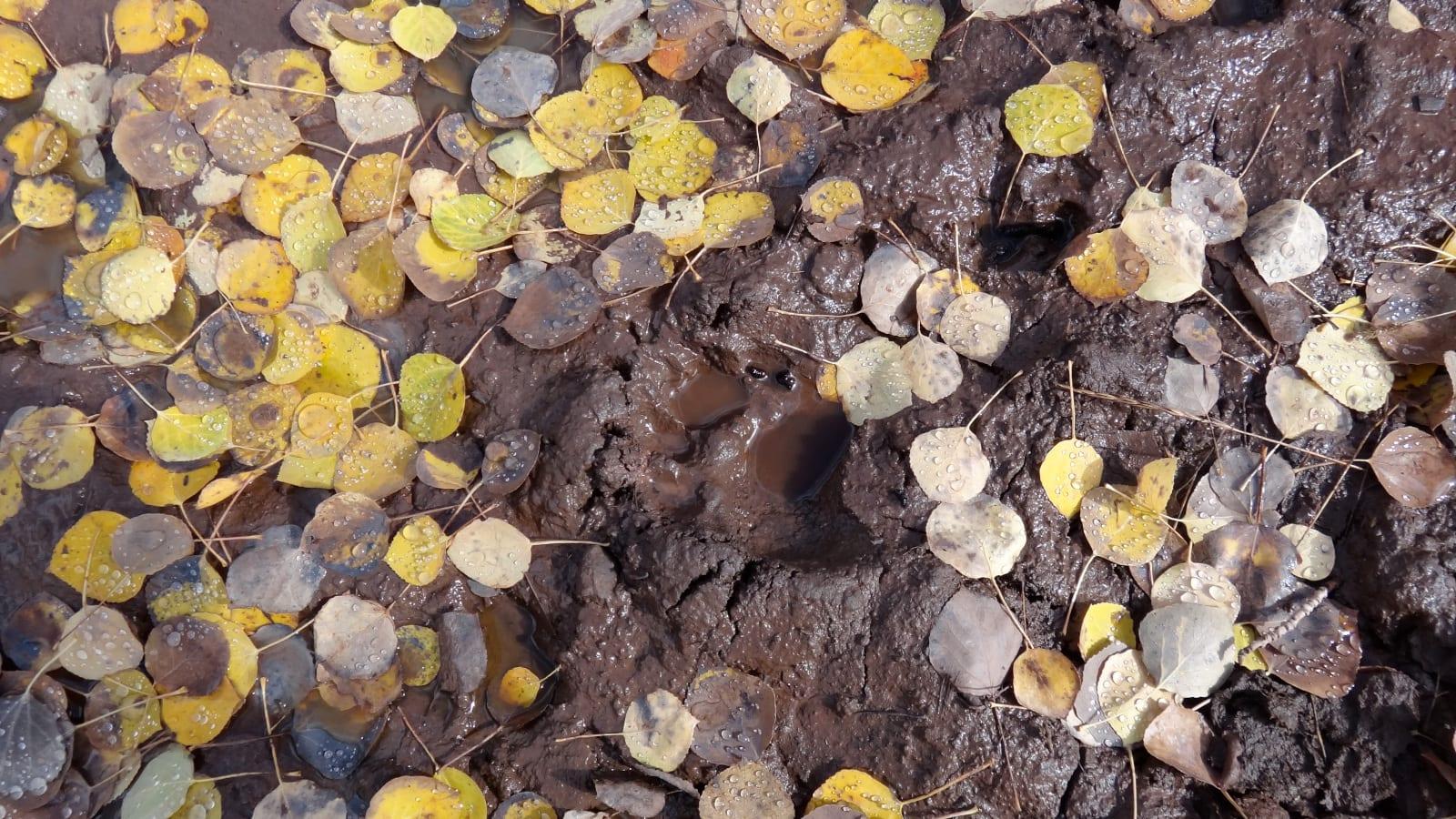 Big Game Hunting Colorado Bear Track